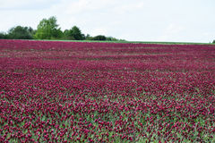 Beautiful Italian crimson clover Stock Photo