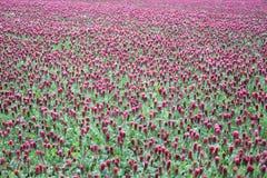 Beautiful Italian crimson clover Stock Photography
