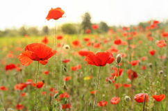 Beautiful italian poppy field on a summer day. Poppy field on a summer day royalty free stock images