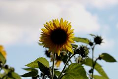Sunflower looking at the sun stock image