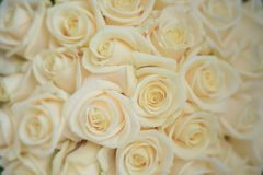 Beautiful ivory large roses close-up shot, floral arrangement for wedding or celebrations. Horizontal background shot with large ivory roses heads, with bokeh Stock Photography