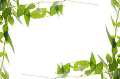 Beautiful ivy border Stock Image