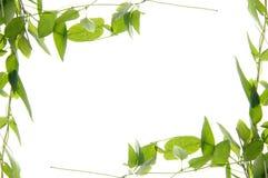 Beautiful ivy border Stock Image