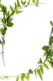 Beautiful ivy border Stock Photo