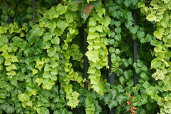 Beautiful ivy hanging from a fence 1. A Royalty Free Stock Photos