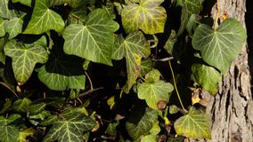 Beautiful ivy on an old large beech tree stock footage
