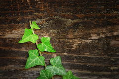 Beautiful ivy on wood fence Stock Photos