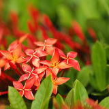 Beautiful ixora against green leaves Stock Photography