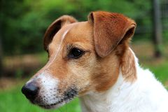 Beautiful jack russell terrier head portrait in the garden. Head portrait close up of a beautiful jack russel terrier in the garden stock photos