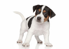Jack Russell terrier puppy Royalty Free Stock Images