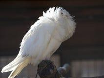 Beautiful Jacobean pigeon Stock Image