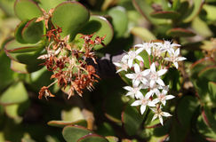 Beautiful Jade plant flowers Royalty Free Stock Image