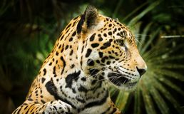 Jaguar Cat Profile. Beautiful Jaguar cat Panthera Onca in close up portrait in profile royalty free stock image