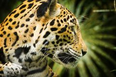 Jaguar Cat Profile. Beautiful Jaguar cat Panthera Onca in close up portrait in profile stock image