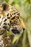 Jaguar Cat Profile. Beautiful Jaguar cat Panthera Onca in close up portrait in profile stock photo