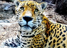 Beautiful Jaguar. At the New Orleans zoo Stock Photography