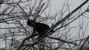 Black hungry dove in the cold winter snow season on the branches of winter trees with snow stock footage