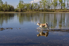 A beautiful Japanese Akita Inu dog walks along the river in summer on a natural background and she is reflected in the water. Royalty Free Stock Photography