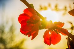 Beautiful japanese apple tree, malus floribunda, red flower. S with the sun setting down shining through in early spring Stock Image