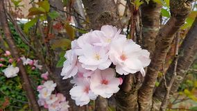 Beautiful Japanese cherry blossoms royalty free stock photos
