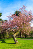 Beautiful Japanese cherry tree in full bloom. Royalty Free Stock Photo