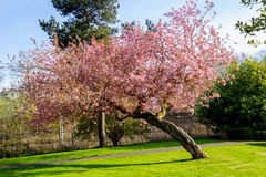 Beautiful Japanese cherry tree in full bloom. Royalty Free Stock Images