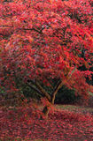 Beautiful Japanese maple acer tree in full Autumn color Stock Photo