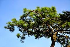 Beautiful Japanese pine trees. On blue sky background Stock Image