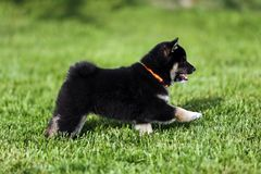 Beautiful japanese shiba inu puppy dog runs  in the garden. Beautiful japanese shiba inu puppy dog running in the garden against green natural background Royalty Free Stock Images