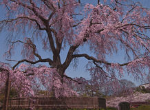 Beautiful Japanese spring Stock Images