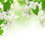 Beautiful Jasmine. Frame.Selective focus Stock Photography