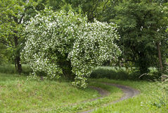 Beautiful jasmine. Bush of the blooming jasmine Stock Photos