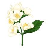 Beautiful jasmine branch isolated on white background. Stock Photo