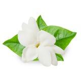 Beautiful Jasmine flower Royalty Free Stock Photos