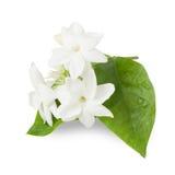 Beautiful Jasmine flower Stock Photos