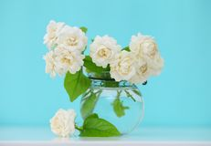 Beautiful jasmine flower in the pot on green blur background.Cop Royalty Free Stock Photos