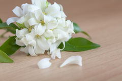 Beautiful Jasmine flower Stock Photography