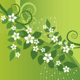 Beautiful jasmine flowers and green swirls Royalty Free Stock Photos