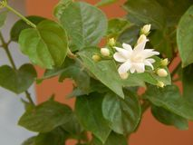 Beautiful Jasmine flowers and leaves. In India, Beautiful Jasmine Flowers and Leaves during summer Days with beautiful color and textures stock photography