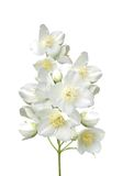 Beautiful jasmine flowers with leaves isolated on white Royalty Free Stock Photos
