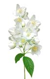 Beautiful jasmine flowers with leaves isolated on white Royalty Free Stock Photography