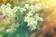 Free Beautiful Jasmine Flowers Lit By Sun Rays In Late Afternoon Stock Photo - 147513150