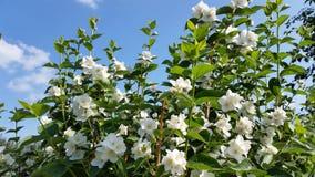 Beautiful jasmine Royalty Free Stock Image