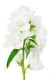 Beautiful Jasmine Flowers on White Background Stock Photos