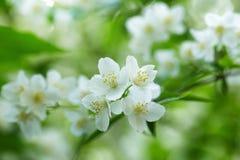 Beautiful jasmine white flowers Stock Photo