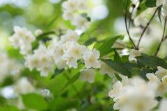 Beautiful jasmine white flowers Stock Photos