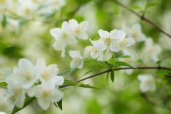 Beautiful jasmine white flowers Royalty Free Stock Image