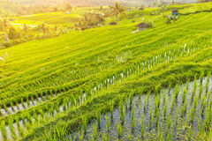 Beautiful Jatiluwih Rice Terraces in Bali Stock Photos