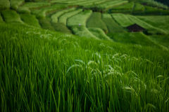 The beautiful Jatiluwih rice terraces in Bali, Indonesia. JATILUWIH VILLAGE, TABANAN REGENCY, BALI, INDONESIA - MAY 5, 2012 Royalty Free Stock Images