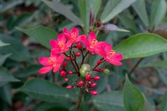Free Beautiful Jatropha Integerrima Jacq Flower Royalty Free Stock Photos - 132005288